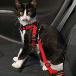 Small Dog or Cat Seat Belt